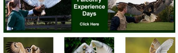 Falconry Experience Flying Days – 95 BBX per Adult and 65 BBX Per Child ( over 10 years old )