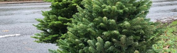 Limited amount of Real Christmas Trees – Premium Nordman Fir