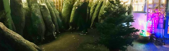 A selection of Christmas trees, Blue Spruce for a last minute sale, 5ft, 6ft and 7ft – £40, £50, £60 BBX